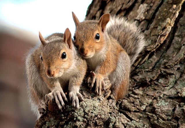 زیستگاه سنجاب در بلوط های زاگرس ( نماد بانه )